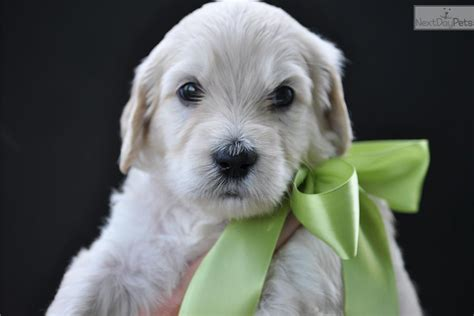 goldendoodle puppies bay area goldendoodle puppy for sale near ta bay area florida 40b4ec2d c531