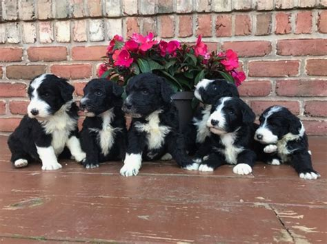 puppy finder indiana view ad sheepadoodle puppy for sale indiana alexandria usa
