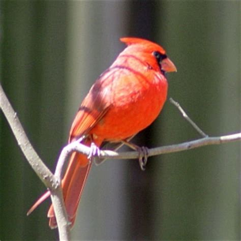 state bird of north carolina northern cardinal photos from north carolina snowbird