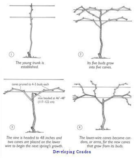 pruning training grape vines how to garden ideas
