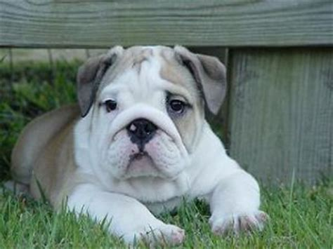 bulldog puppies for sale in michigan bulldog puppies in michigan