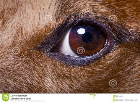 dogs eye is up eye stock image image of looking 63754093