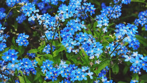 Wallpaper Bunga 545 blue forget me not flowers free image peakpx