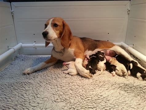 beagle puppies for sale in ct beagle puppies for sale in new jersey breeds picture