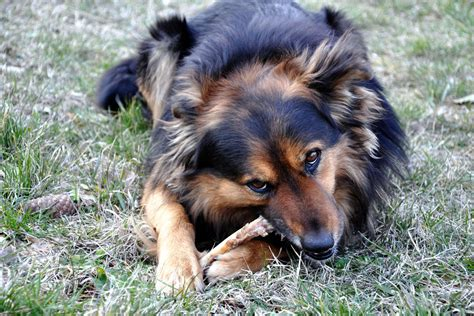 dogs and chicken bones what if a eats a chicken bone howstuffworks