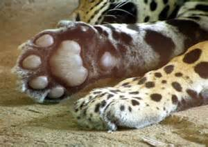Jaguar Behavioral Adaptations Image Gallery Jaguar Adaptation