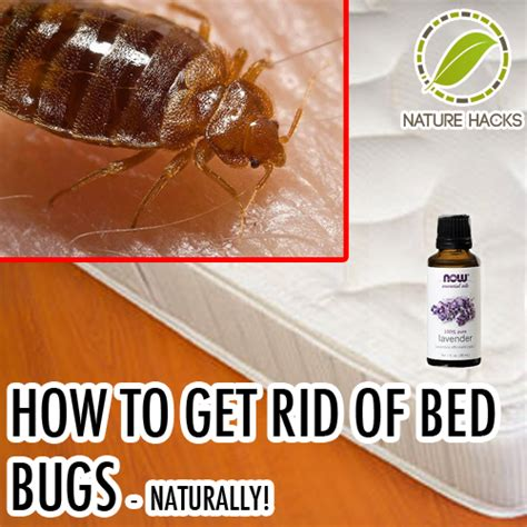 rid  bed bugs