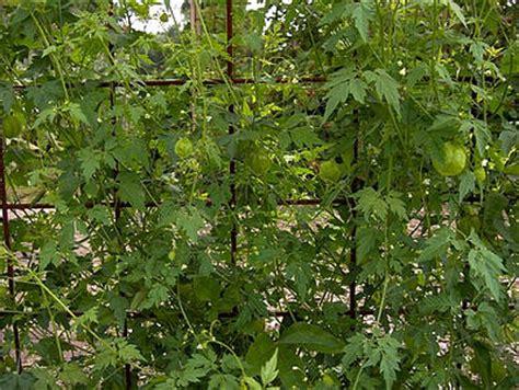 Klimplant Voor Binnen by Cardiospermum Halicacabum Blaasjeswingerd Eenjarige