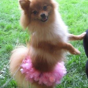 pomeranian baby teeth 41 best images about pomeranians on dogs a and pomeranian haircut