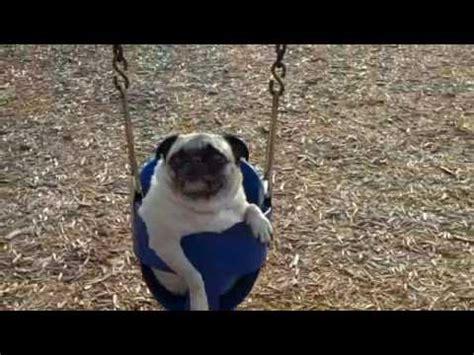 pooping pug swinging sliding pooping running pugs