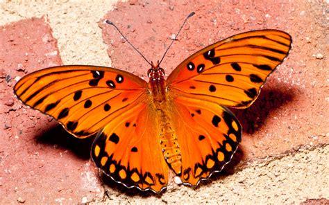 Tv Walls by Orange Butterfly 3 Wallpaper Animal Wallpapers 33672