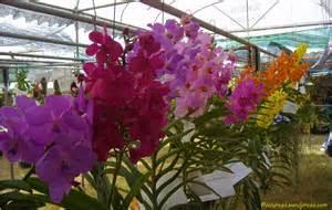 vanda orchids vanda orchid flower picture orchid flower fruit plant tree pictures