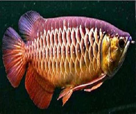 Anakan Ikan Arwana Kalimantan jenis jenis ikan arwana terlengkap