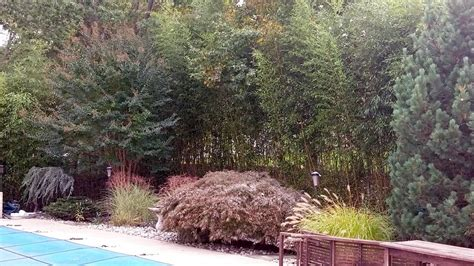 bamboo backyard privacy privacy hedges nj bamboo landscaping