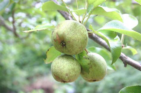 pruning fruit trees fruit trees pruning walter reeves the gardener