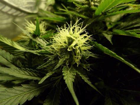 wann wird cannabis wann ist die richtige zeit um sein cannabis zu ernten