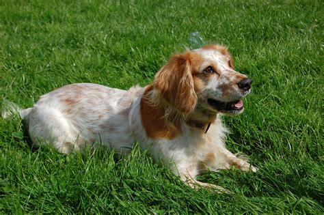 English Cocker Spaniel ~ Everything Best Dogs