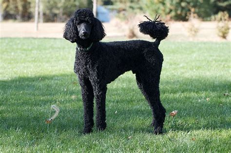 lifespan of standard poodle standard poodle breed info breeders and puppies for sale