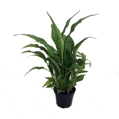 great house plants peace lily plant spathyphyllium great house plant 4 quot pot
