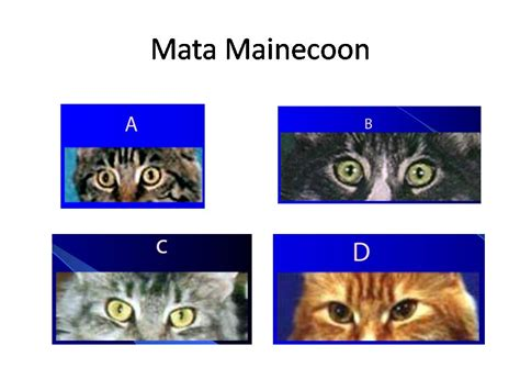 Mata Kucing Warna Gold Kawasaki Blitzkaze harga kucing maine coon tergantung pada kualitas kucing