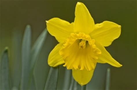 Daffodil Fertilizer How When And What To Feed Daffodil