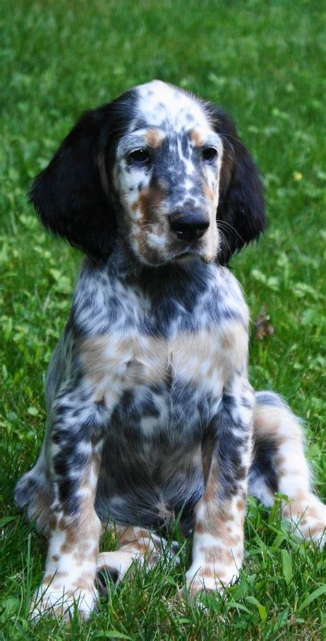 setter dog traits 598 best bird dogs images on pinterest english setter