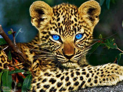 imagenes de tigres leones y leopardos leopardos animados imagui