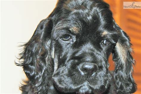 puppies for sale missoula montana sparky cocker spaniel puppy for sale near missoula montana 0a89073f 1021