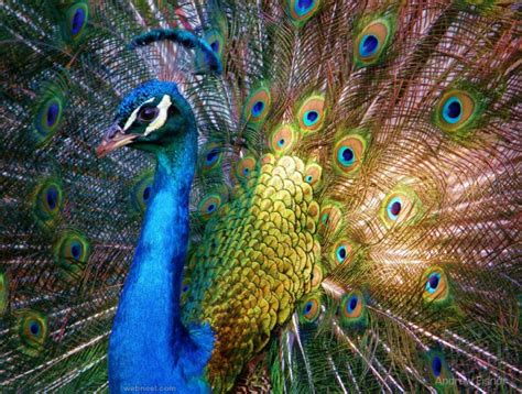 beautiful pictures 30 beautiful peacock photos and white peacock pictures