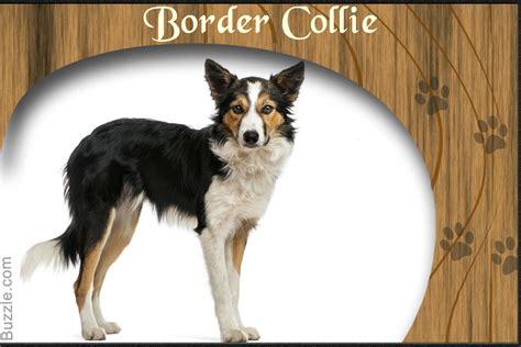 german shepherd border collie mix puppies personality traits of border collie and german shepherd mix breed
