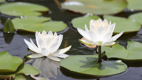 water flower bloom water sparkle lotus flower water beautiful blooming flower white water on a pond