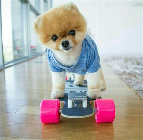 pomeranian boo breed 17 best ideas about puppy wallpaper on miniature puppies mini