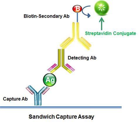 s protein hrp conjugate ap streptavidin conjugate streptavidin alkaline