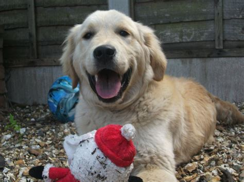 golden retrievers for sale in bc handsome golden retriever for sale smethwick west midlands pets4homes