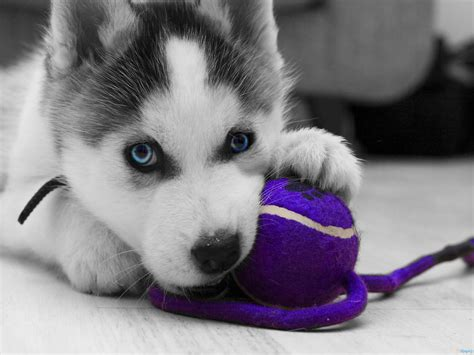 newborn husky puppies siberian husky newborn puppies wallpaper
