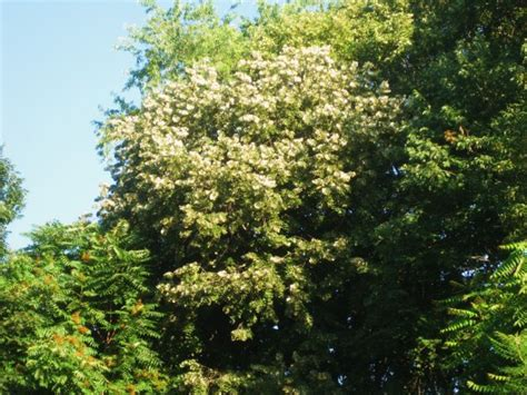 the fragrant linden tree tilia - Fragrant Tree