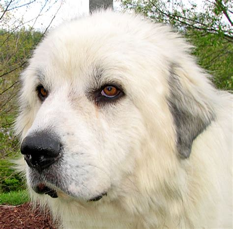 big fluffy rescue big fluffy white breeds picture