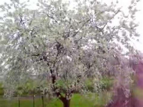 ciliegio fiorito ciliegio fiorito