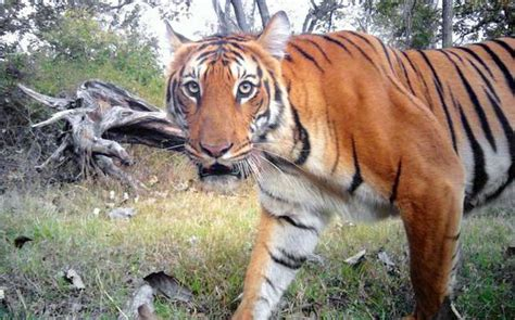 tiger 3 act a 0230475477 time in camera trap data throws more light on tiger behaviour the hindu