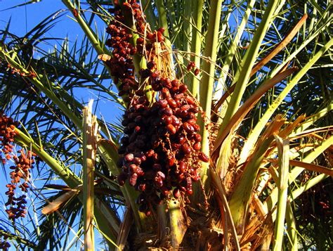 how to grow dates from draa valley is date country violet s journey