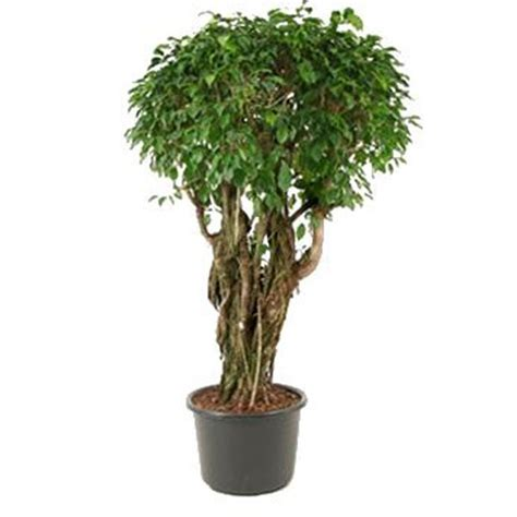 indoor plants uk ficus columnar from plantsforhomes co uk indoor plants