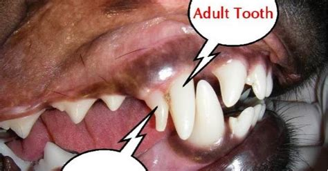 losing puppy teeth pet supplies for dogs and cats rosyandrocky how to