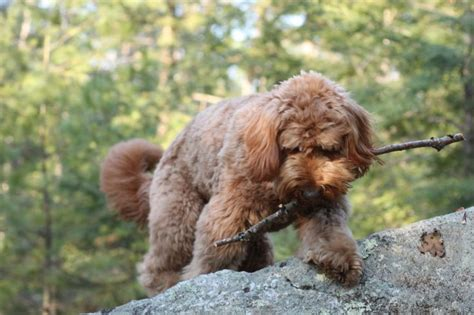 goldendoodle puppy aggressive 10 best images about goldendoodle puppies on