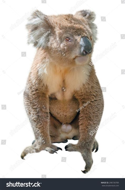 Who Lives At This Address Free Search Australia Koala Phascolarctos Cinereus Typical Animal That Lives In The
