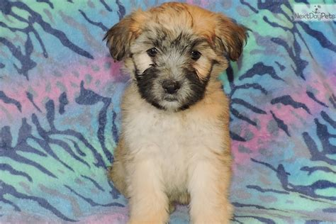 whoodle puppies for sale near me whoodle puppy for sale near los angeles california 611bfc8c ffe1