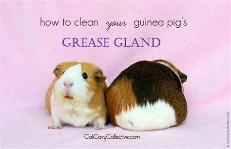 gland cleaning cleaning your guinea pig s grease gland guinea pigs