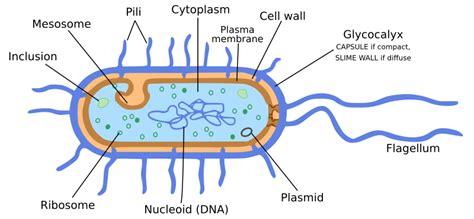 diagram bacterial cell bacteria cell diagram microscopic bacteria