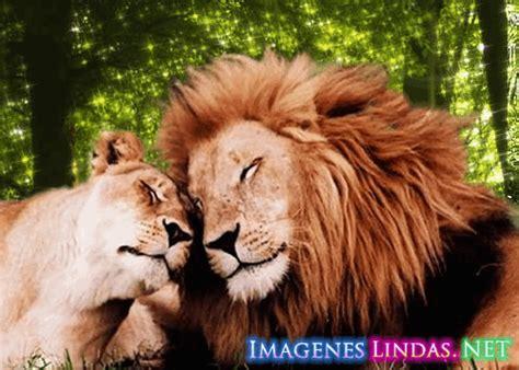 imagenes leones enamorados amor de leones