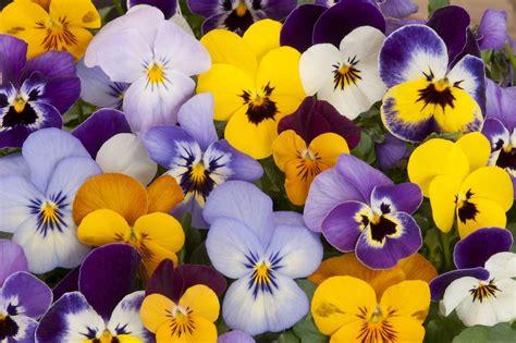 nomi fiori primaverili fiori primaverili a tutto colore e profumo