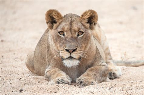 couching lion 1000 images about photography focusing on animals on